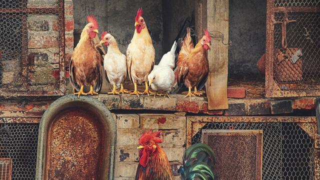 Isu Kesejahteraan Hewan Ternak di Tiap Gigitan Ayam Goreng (34860)