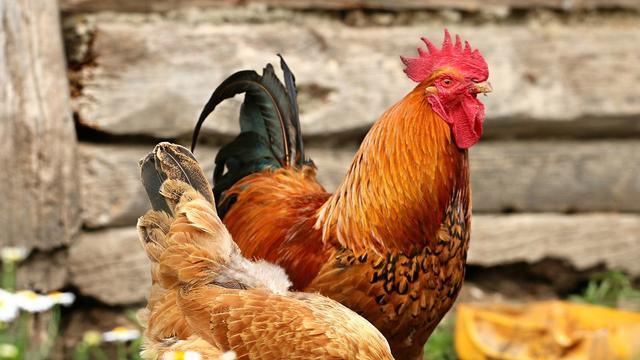 Isu Kesejahteraan Hewan Ternak di Tiap Gigitan Ayam Goreng (34861)