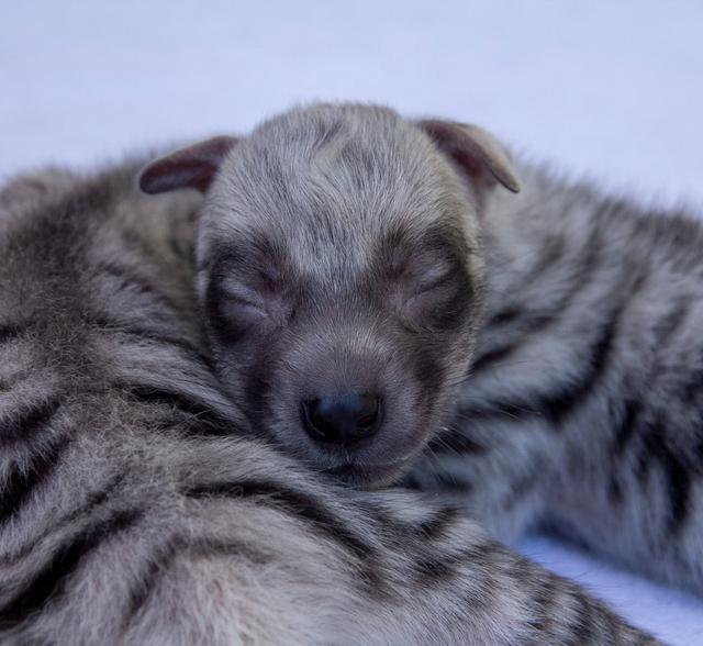 2 Bayi Hiena di Bali Safari Park Mulai Diperkenalkan ke Pengunjung (40663)