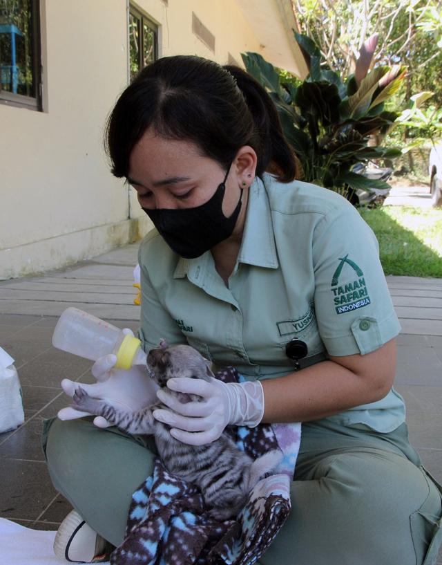 2 Bayi Hiena di Bali Safari Park Mulai Diperkenalkan ke Pengunjung (40665)