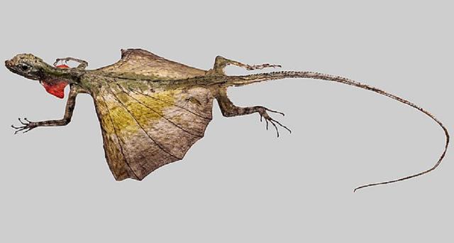 Naga Terbang Bukan Cuma Mitos, Hewan Ini Ada di Hutan Tropis Asia Tenggara (472200)