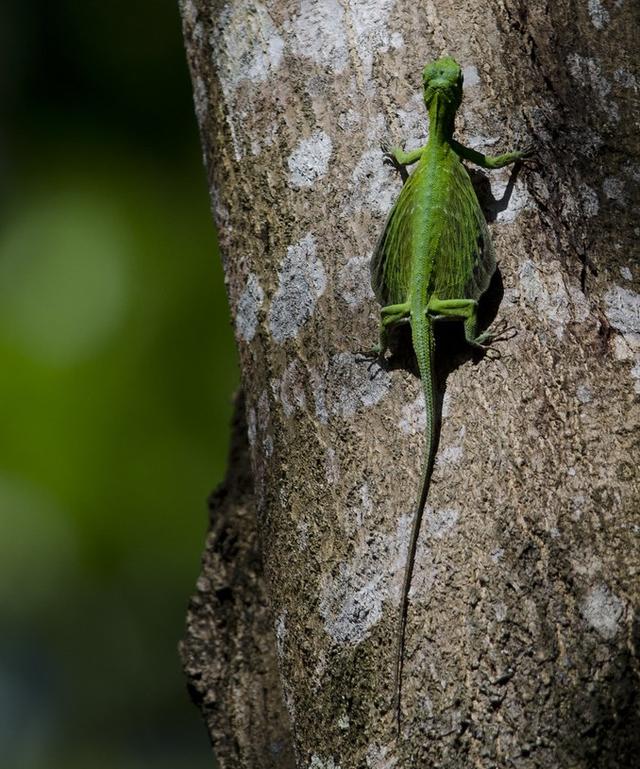 Naga Terbang Bukan Cuma Mitos, Hewan Ini Ada di Hutan Tropis Asia Tenggara (472199)