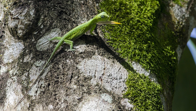 Naga Terbang Bukan Cuma Mitos, Hewan Ini Ada di Hutan Tropis Asia Tenggara (472201)