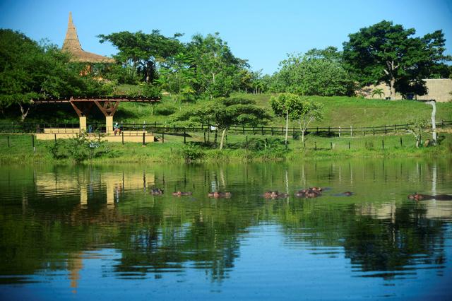 Foto: Kuda Nil Warisan Pablo Escobar Kini Jadi Masalah Besar di Kolombia (768362)