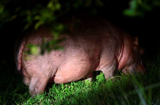 Foto: Kuda Nil Warisan Pablo Escobar Kini Jadi Masalah Besar di Kolombia (768363)
