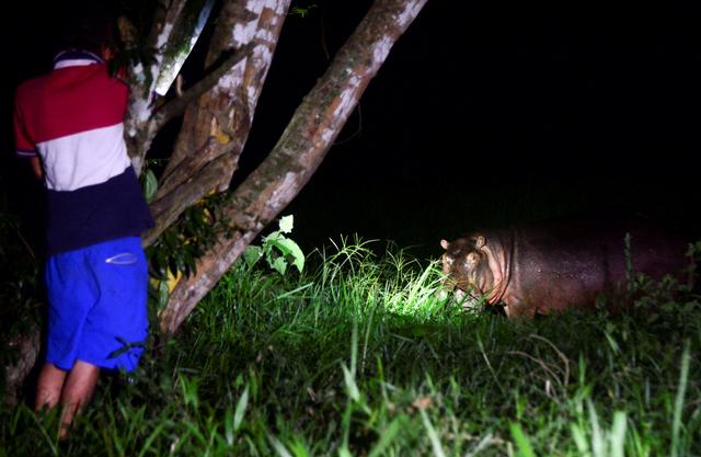 Foto: Kuda Nil Warisan Pablo Escobar Kini Jadi Masalah Besar di Kolombia (768364)