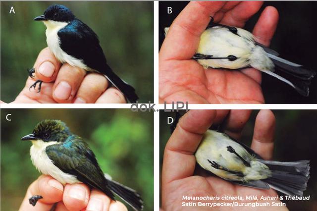 LIPI Temukan Jenis Baru Burung Buah di Papua Barat, Begini Wujudnya (491706)