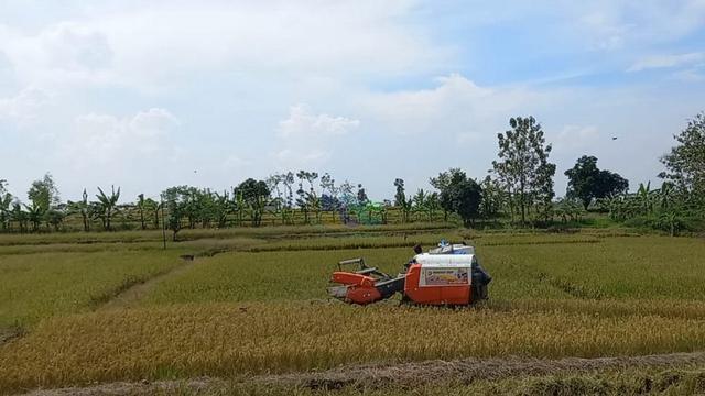 Petani di Dander, Bojonegoro, Keluhkan Anjloknya Harga Gabah (46944)