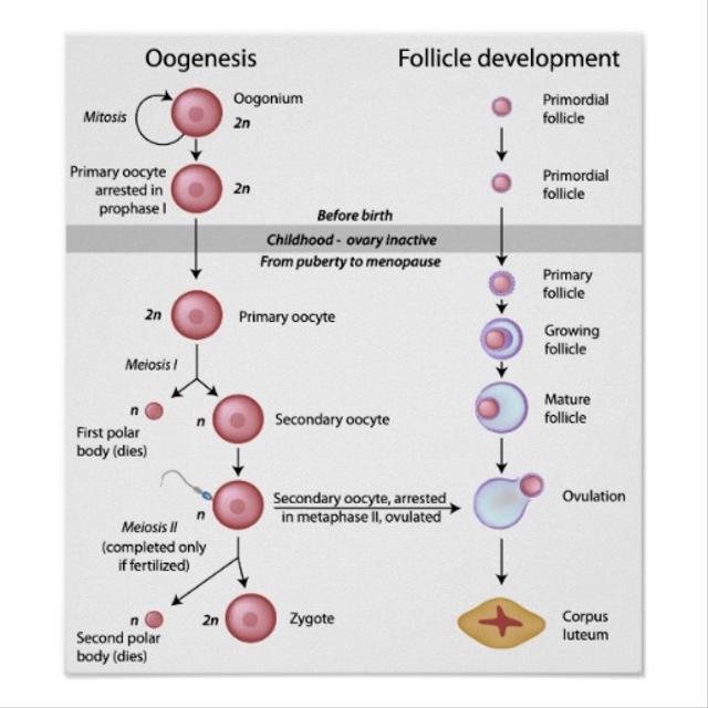 Proses Oogenesis: Pembentukan Sel pada Wanita (39921)