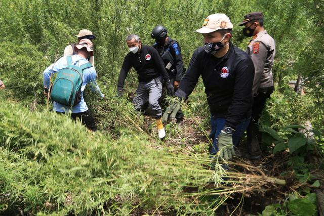Foto: Pemusnahan Tujuh Hektar Ladang Ganja di Aceh (257493)