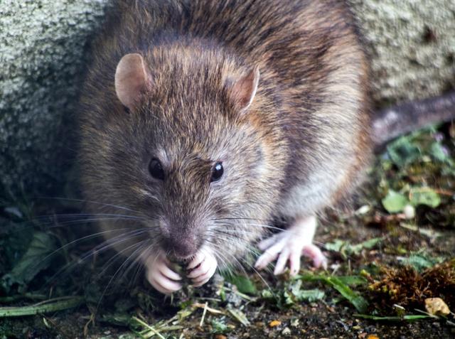 Cara Mengusir Tikus yang Aman Tanpa Bahan Kimia Berbahaya (498973)