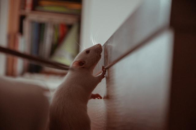 Cara Mengusir Tikus yang Aman Tanpa Bahan Kimia Berbahaya (498974)