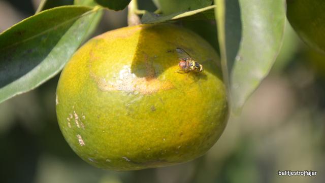 Lalat Buah yang Meresahkan Petani Jeruk di Tanah Karo  (31151)