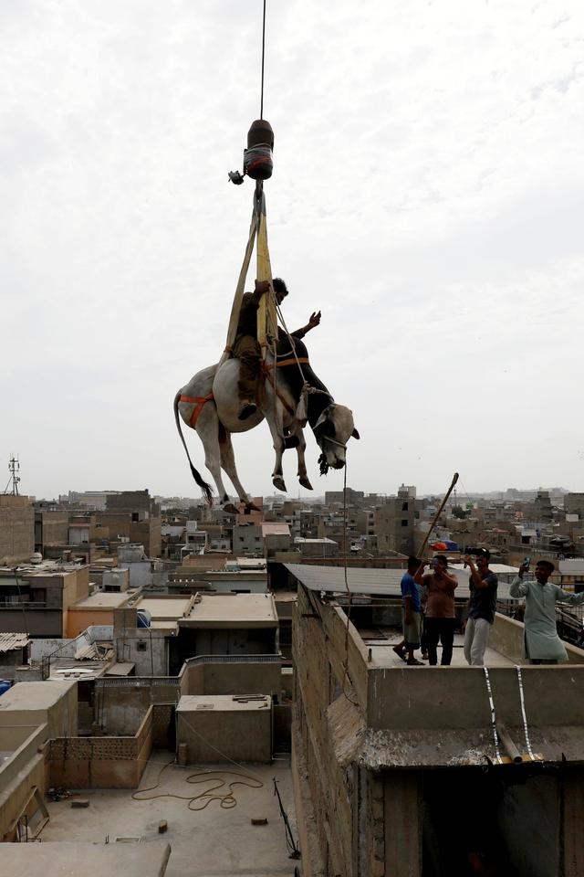 Foto: Jelang Idul Adha Sapi di Pakistan Diturunkan dengan Derek  (401066)