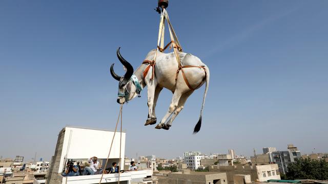 Foto: Jelang Idul Adha Sapi di Pakistan Diturunkan dengan Derek  (401067)