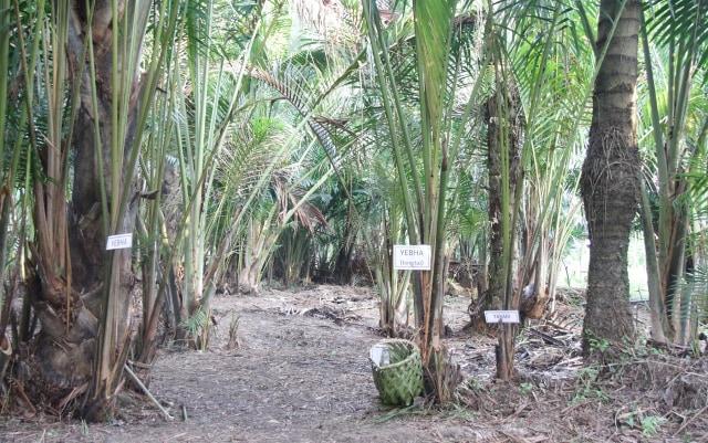 Pohon Sagu Sentani Terancam Punah (66536)