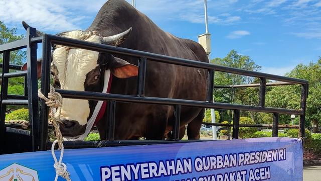 Sapi Kurban Jokowi untuk Warga Aceh Besar: Berat 1 Ton Lebih, Jenis Simental (993565)