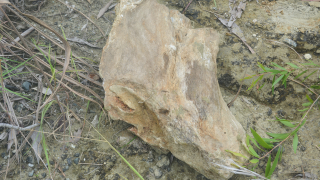 Fosil Kayu Berumur 15 Juta Tahun Ditemukan di Perbukitan Kampung Abar Jayapura (63133)