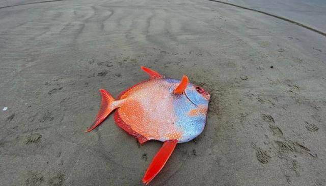 Ikan Misterius Seberat 45 Kg Terdampar di Pantai AS, Begini Penampakannya (435811)