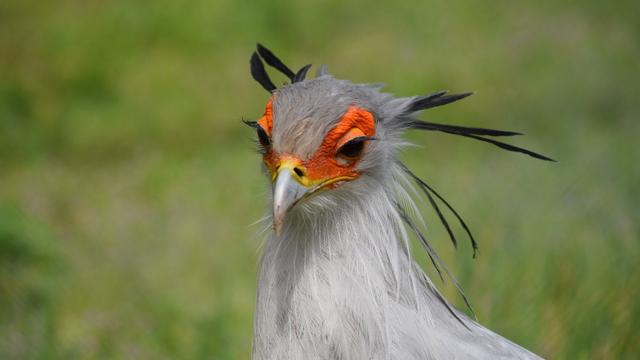 Ini Burung Sekretaris: Punya Bulu Mata Paling Lentik di Dunia, tapi Mematikan (163121)