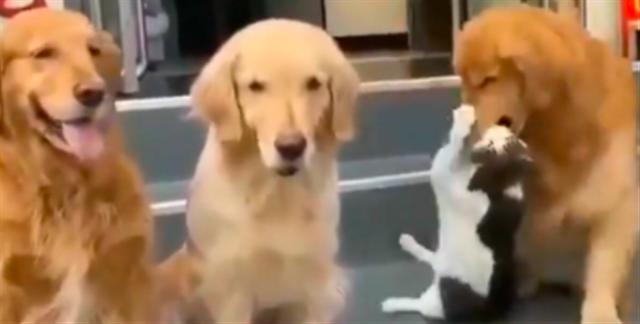 Bikin Gemas, Kucing yang 'Terpaksa' Berfoto dengan Kawanan Anjing (85246)