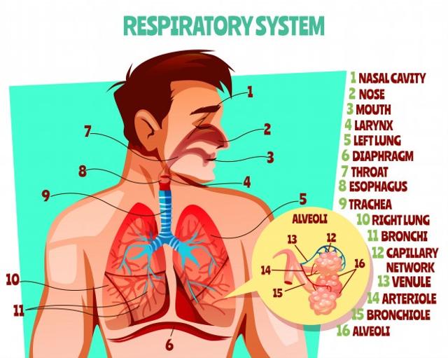 Fungsi Bagian Hidung dalam Sistem Pernapasan Manusia (6580)
