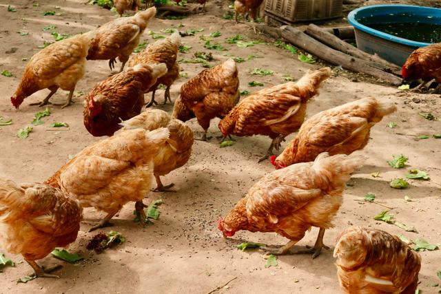 Tahapan Perkembangbiakan Ayam dan Ciri-Cirinya Lengkap (399418)