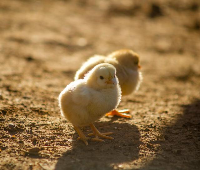 Tahapan Perkembangbiakan Ayam dan Ciri-Cirinya Lengkap (399419)
