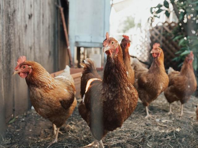 Karakteristik Tempat Hidup Ayam dan Jenis-jenisnya (1025323)