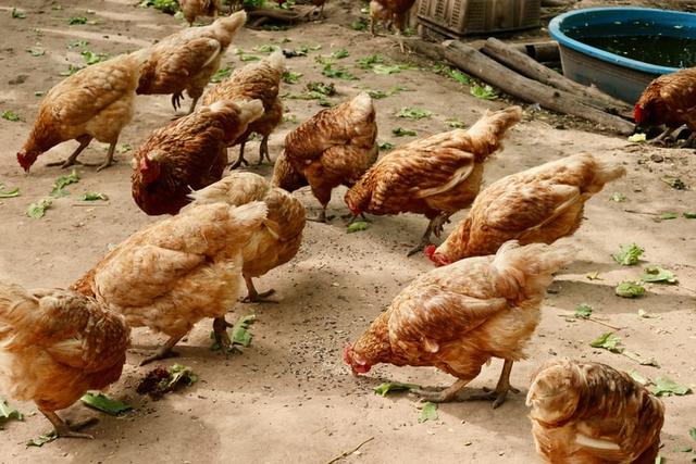 Karakteristik Tempat Hidup Ayam dan Jenis-jenisnya (1025325)
