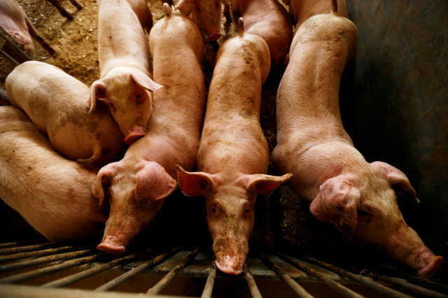 Foto: Ribuan Babi di Republik Dominika Dibasmi Usai Terjangkit Demam Babi Afrika (153576)