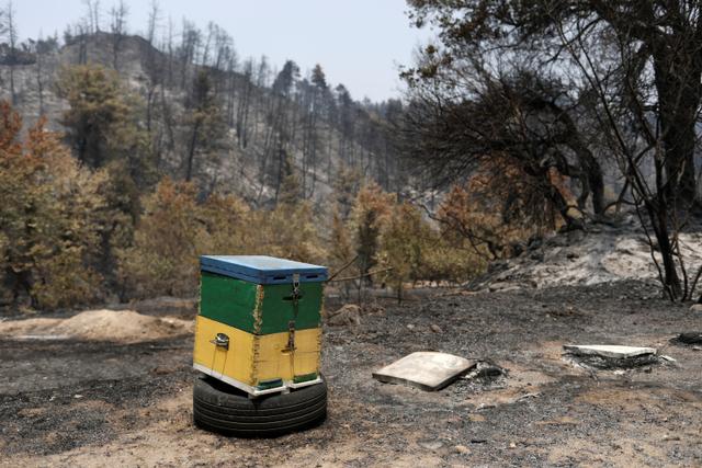 Foto: Peternak Lebah Madu Pinus Yunani Terdampak Kebakaran Hutan (143601)