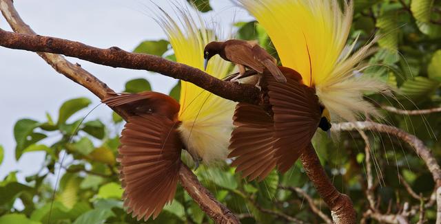 Terancam Punah, Ini 3 Upaya Menjaga Kelestarian Burung Cenderawasih (34604)