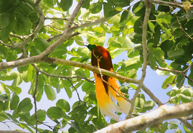 Terancam Punah, Ini 3 Upaya Menjaga Kelestarian Burung Cenderawasih (34605)
