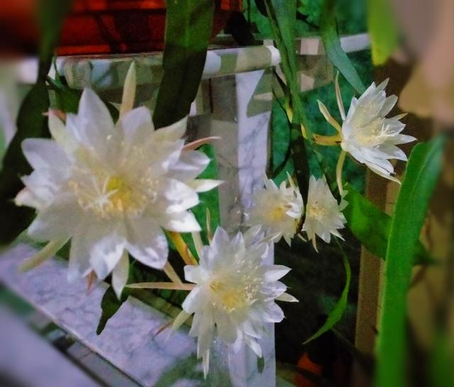 Bunga Wijaya Kusuma Mekar Bersama, Pertanda Apa? (12514)