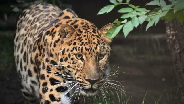 BKSDA DIY Cari Macan Tutul di Gunungkidul (331908)
