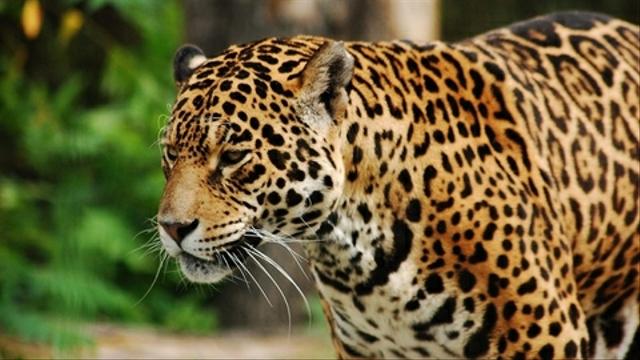 BKSDA DIY Cari Macan Tutul di Gunungkidul (331909)