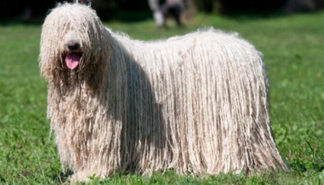 Berbulu Tebal, Anjing Ini Dibilang Mirip Alat Pel (6668)