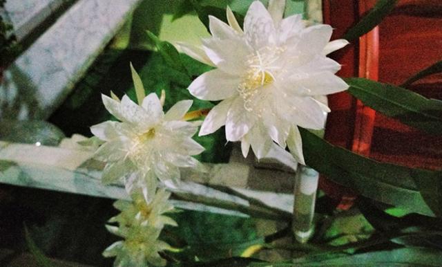 Bunga Wijaya Kusuma Mekar Lagi, Semoga Pertanda Baik (1236802)