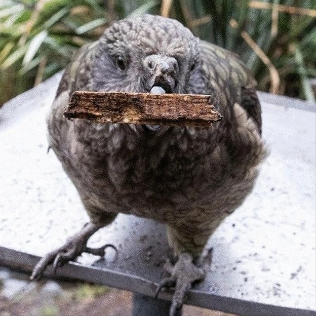 Ilmuwan Kaget, Burung Pintar Ini Jago Pakai Alat Gantikan Paruh yang Cacat (108863)
