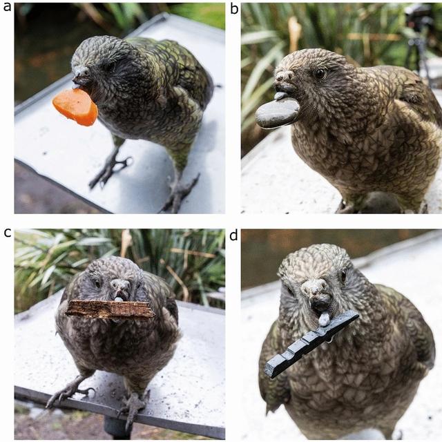 Ilmuwan Kaget, Burung Pintar Ini Jago Pakai Alat Gantikan Paruh yang Cacat (108864)