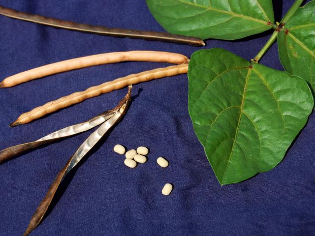 Manfaat Kacang Tunggak: Cegah Osteoporosis pada Wanita Pasca-Menopause (1047103)