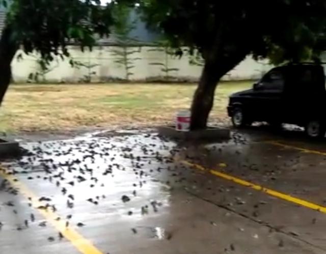 Ini Hasil Uji Laboratorium Kasus Burung Pipit Mati Massal di Balai Kota Cirebon (139573)