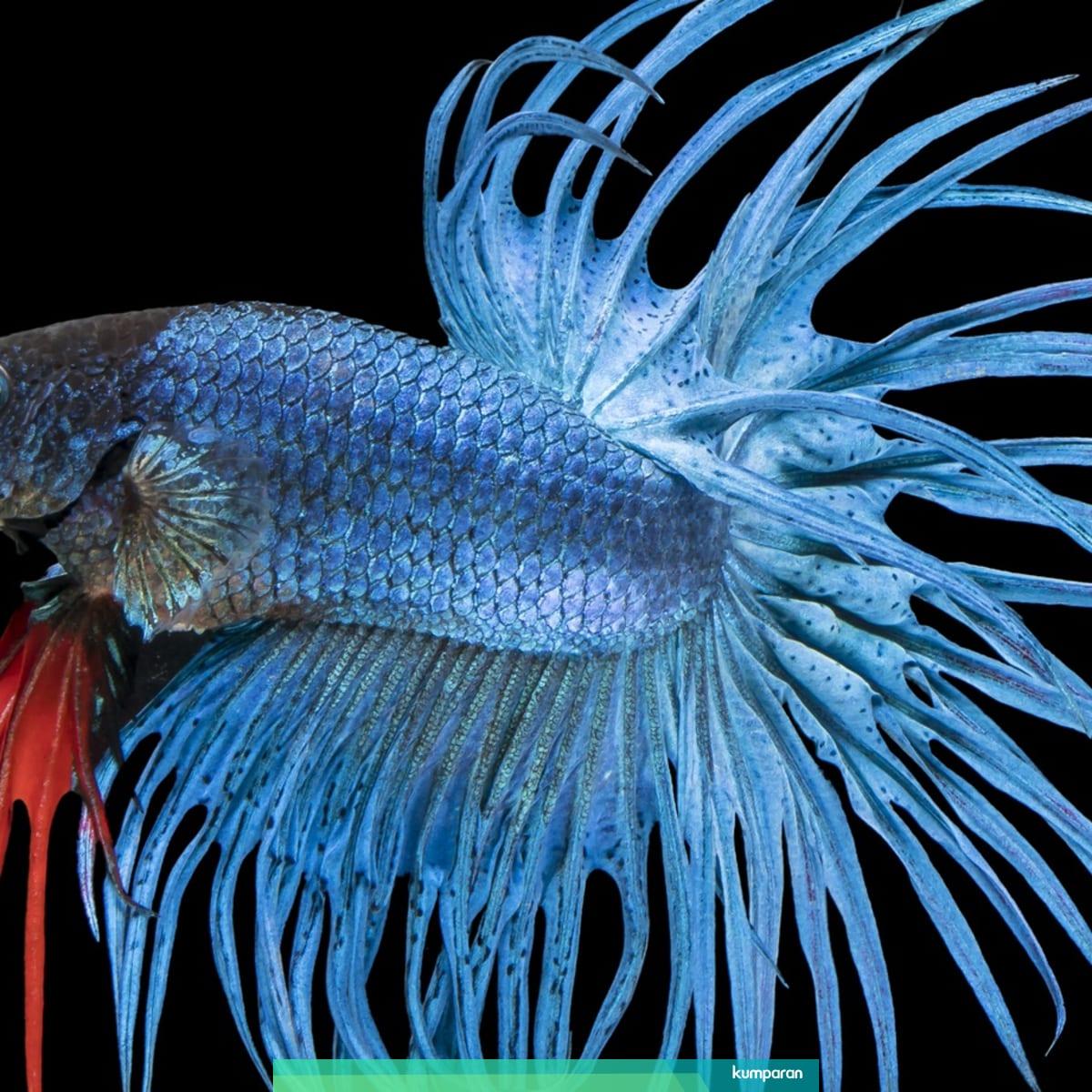 Ikan Cupang Produksi Slipi Dan Semanan Diekspor Hingga Ke Eropa Kumparan Com