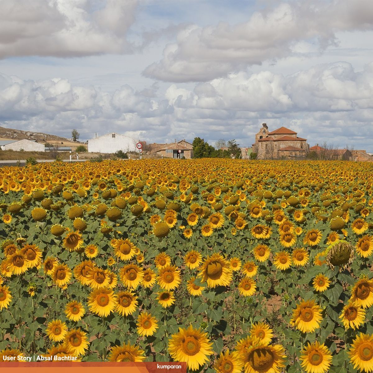 Apakah Bunga Matahari Mengikuti Arah Matahari Selama 24 Jam