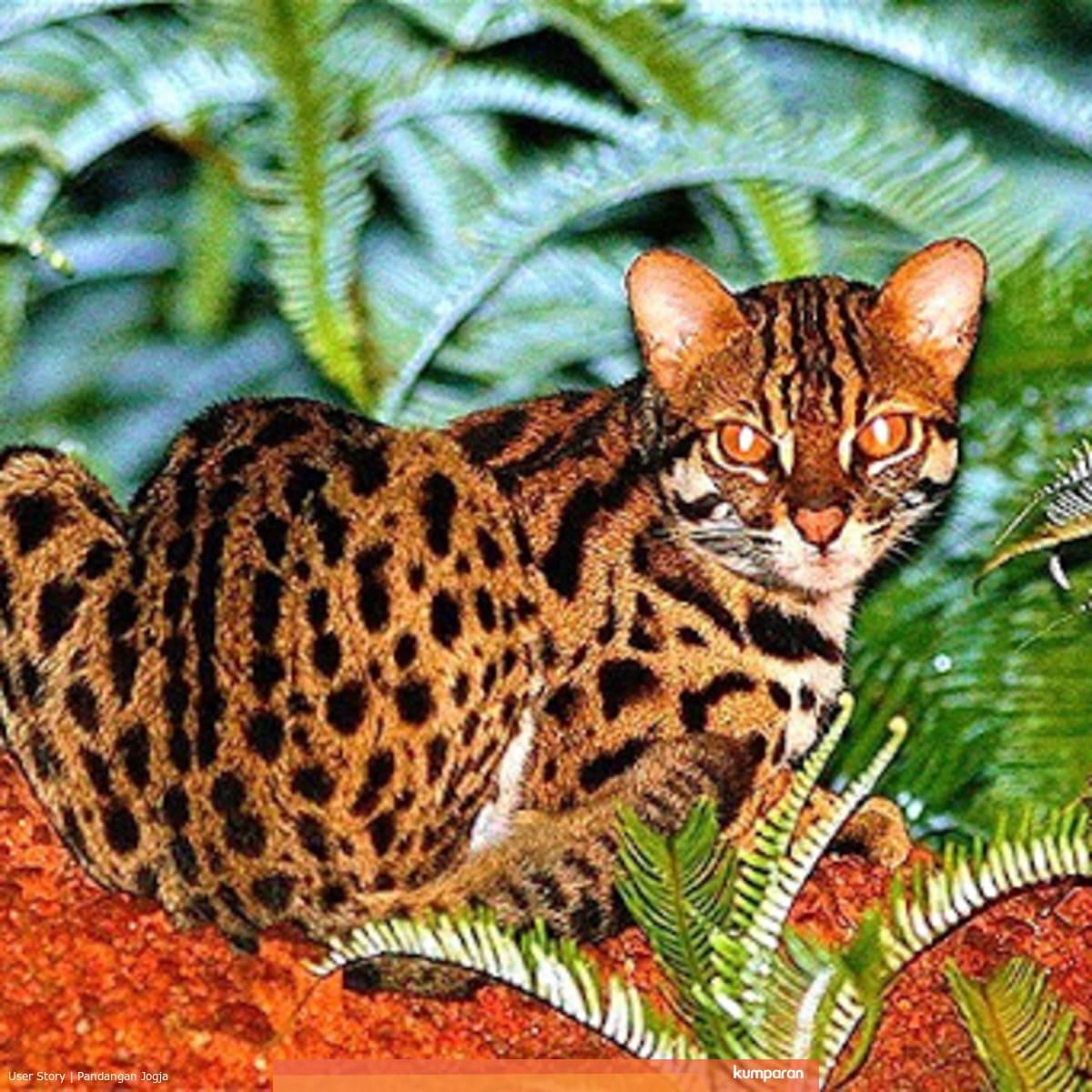 Mengenal Macan Akar Kucing Hutan Lucu Yang Sempat Viral Karena Disembelih Kumparan Com