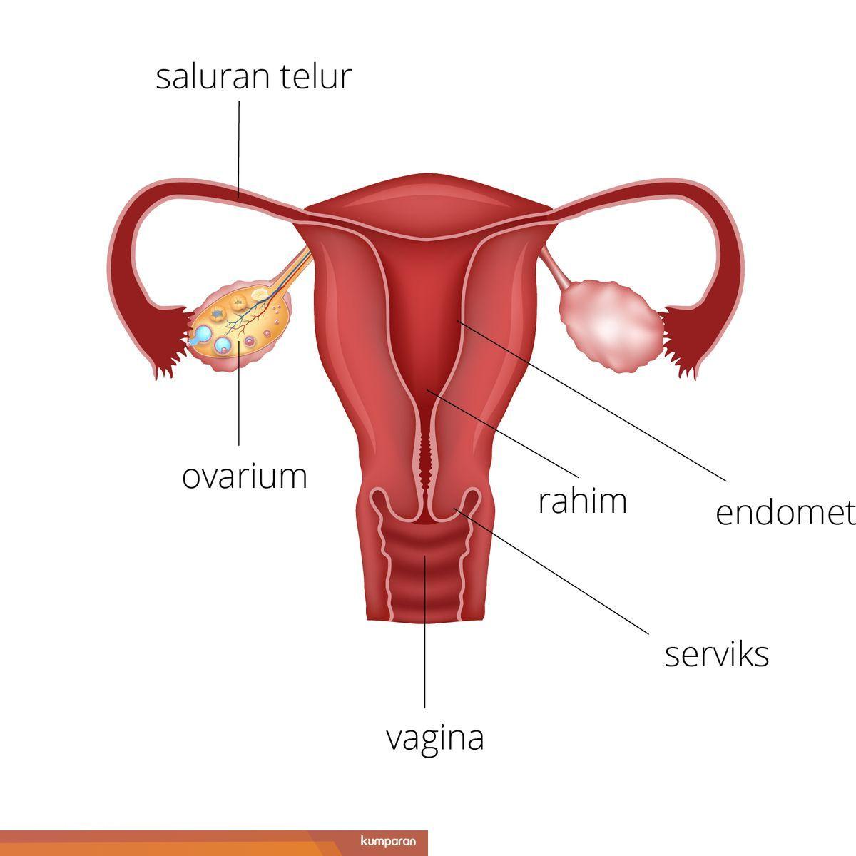 Semua Yang Anda Perlu Tahu Tentang Organ Reproduksi Wanita Kumparan Com