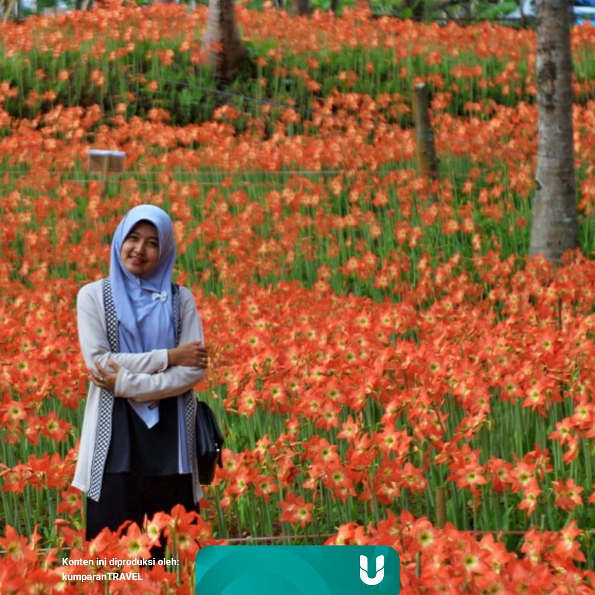 Bukan Eropa Tapi Di Jogja Yuk Intip Cantiknya Bunga Amarilis Kumparan Com