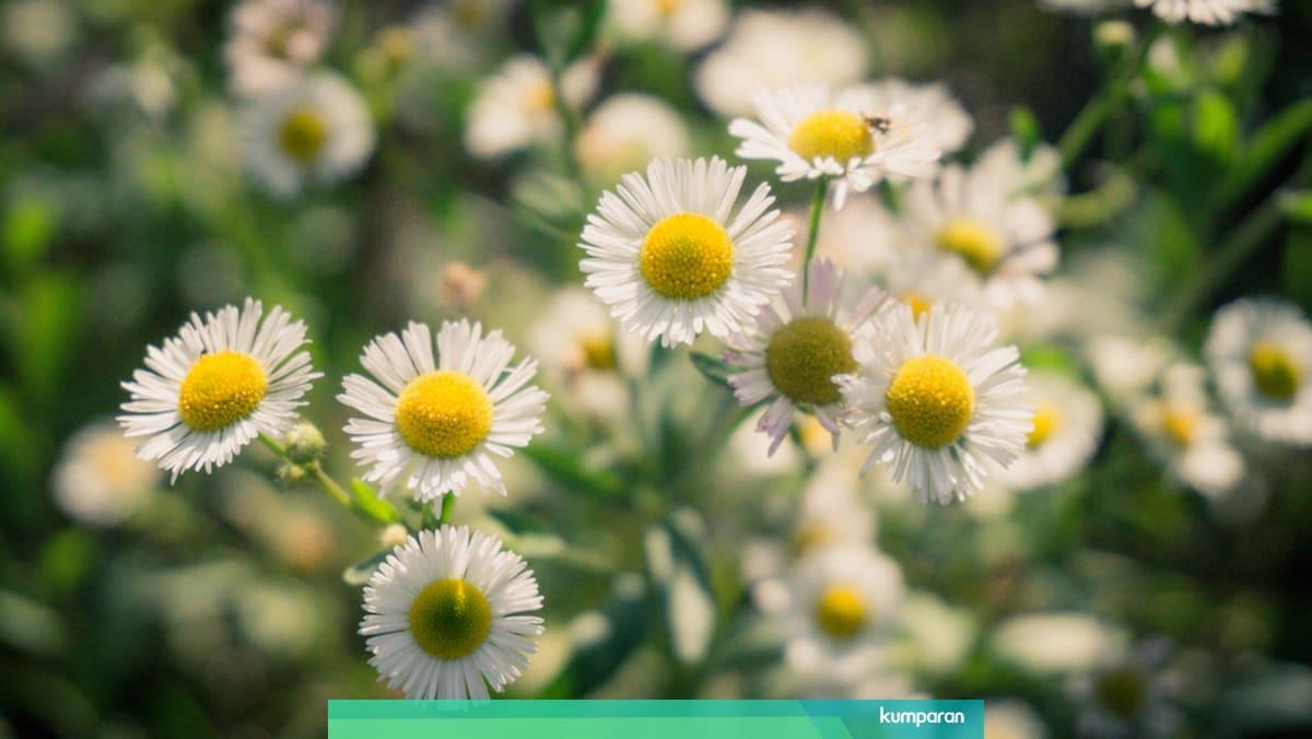 Bisa Dikonsumsi 5 Jenis Bunga Yang Punya Manfaat Kesehatan Kumparan Com