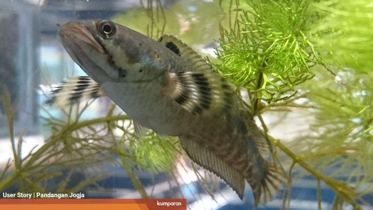 Di Jogja Jadi Ikan Mahal Di Kalbar Channa Maru Jadi Santapan Lezat Sehari Hari Kumparan Com